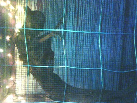 The dried-up husk of a Fiji Mermaid.